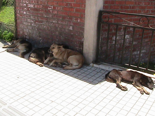 Many stray dogs on the streets of Chile.JPG