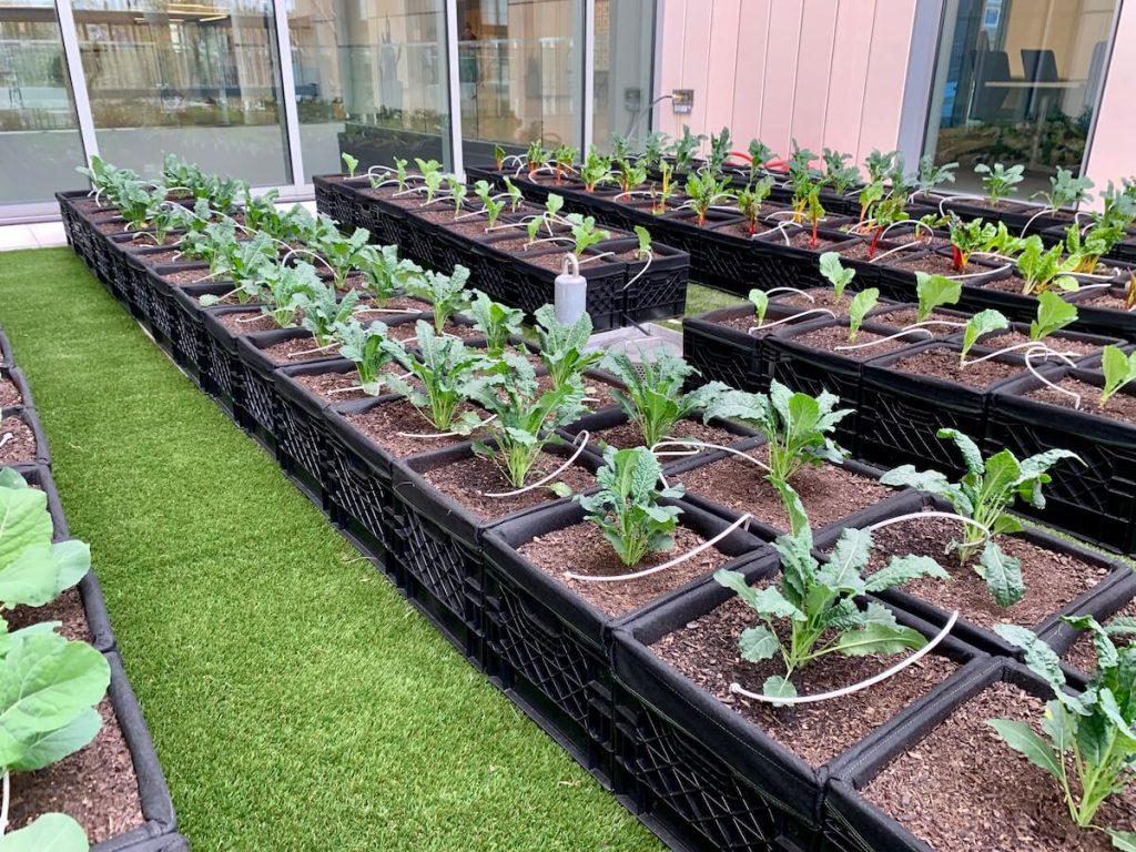 organic vegetables rooftop garden UMass Lowell