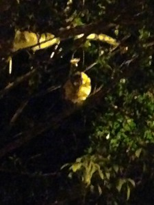 Here is a blurry picture of a sloth. He moved quite slow, but very fast considering the stereotype.